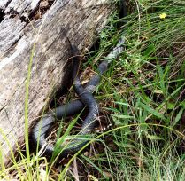 Red-bellied black snake?